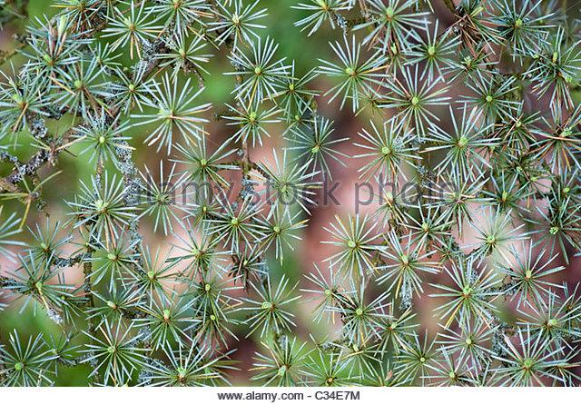 Cedrus libani glauca. Lebanon Cedar tree pattern - Stock Image