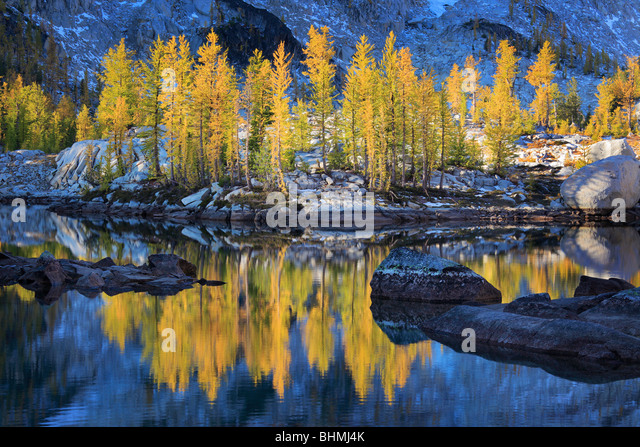 Larch trees at Enchantment Lakes - Stock Image