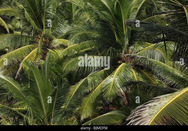 Coconut palms, Kerala, India, Asia - Stock-Bilder