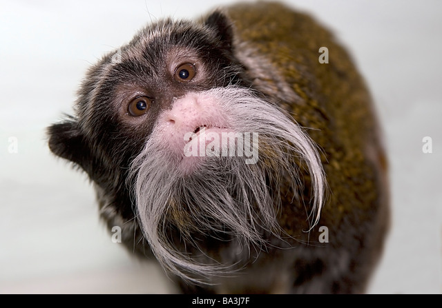 Emperor Tamarin inquisitive nosey monkey cheeky moustache Saguinus imperator - Stock Image
