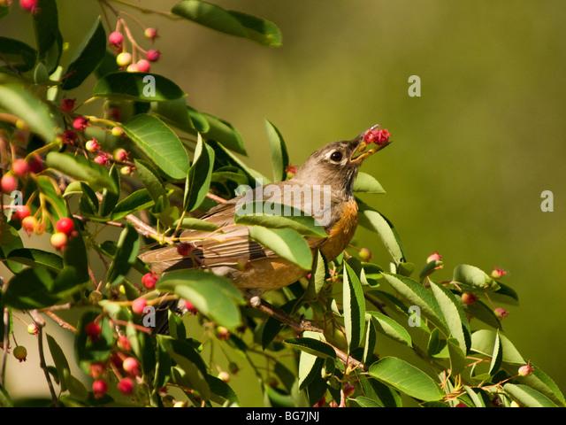 Idaho, Wildlife, Bird, Song Birds, Robin eating serviceberry. - Stock-Bilder