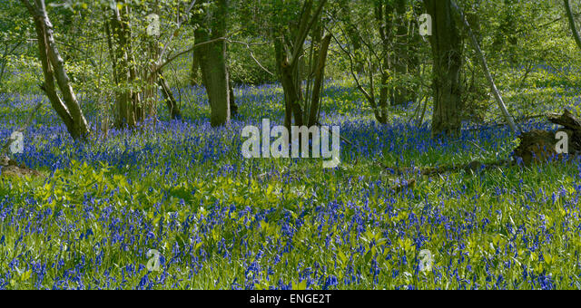 English bluebells in Cambridgeshire woodland - Stock Image
