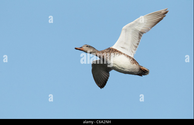 Gadwall (Anas strepera), female in flight. - Stock Image