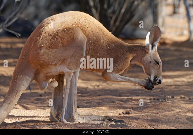 Red Kangaroo, Northern Territory, Outback of Australia - Stock Image