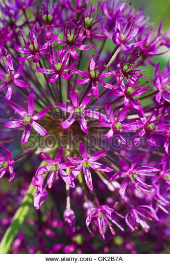 flower plant alliums - Stock Image