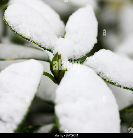 resilient bud surrounded by snow capped acuba japonica leaves - fine art photography Jane-Ann Butler Photography - Stock Image