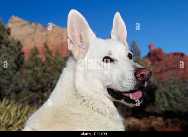 White German Shepherd on the Jordan Trail in Sedona, Arizona - Stock Image