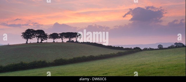 Iconic Exmoor beech trees at dawn near Luccombe, Exmoor, Somerset, England. Summer (August) 2013. - Stock Image