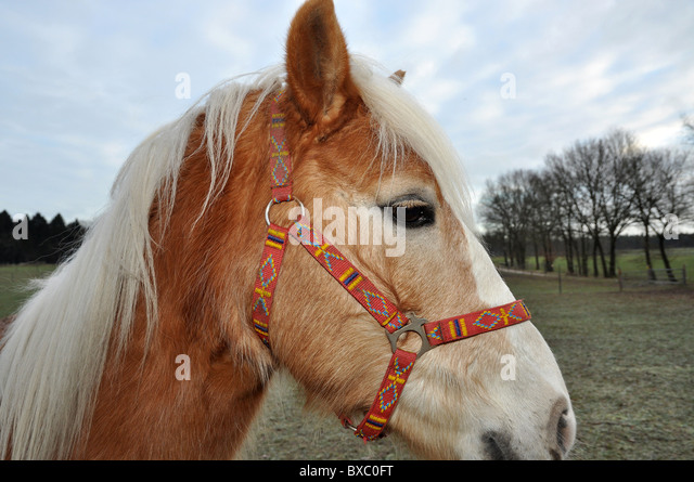 Brown horse with beautiful white mane and colorful halter - Stock Image