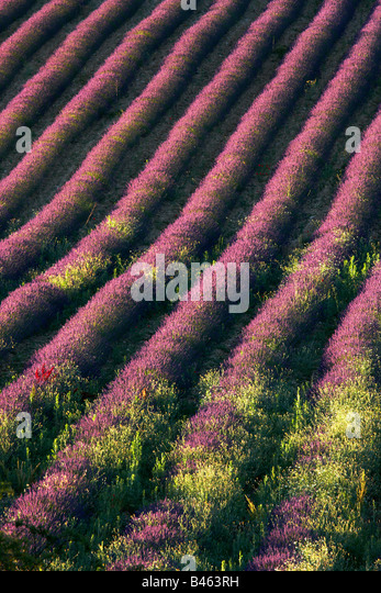 rows of lavender in a field near St-Saturnin-les-Apt, the Vaucluse, Provence, France - Stock-Bilder