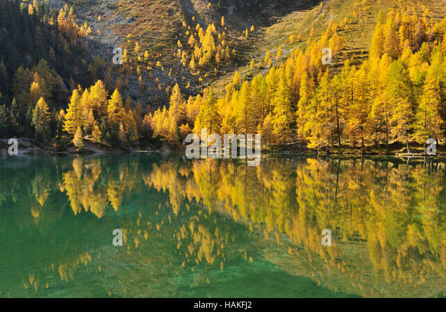Larch Trees in Autumn on Shore of Lai da Palquogna, Albula-Pass, Grisons, Switzerland - Stock Image