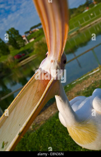 Great white pelican Pelecanus onocrotalus, Pelecanidae - Stock Image