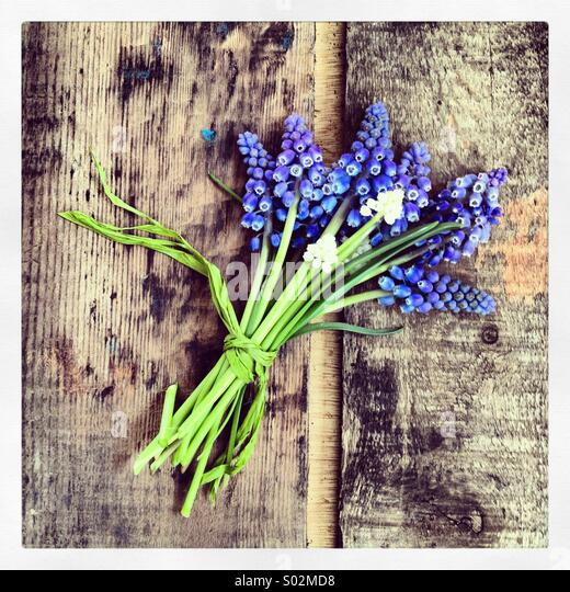 Muscari posy on aged wood - Stock Image