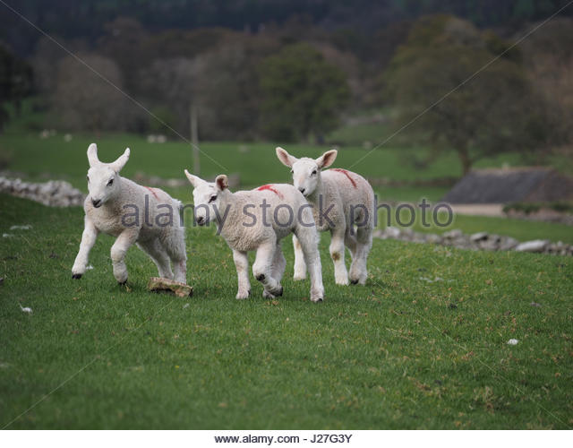 Cumbria, UK. 25th Apr, 2017. Overcast day in Cumbria. Three Spring lambs frolicking in Cumbria despite the wintry - Stock Image