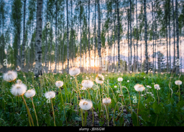 Fresh spring landscape with flowers and butterfly at evening time in Finland - Stock Image