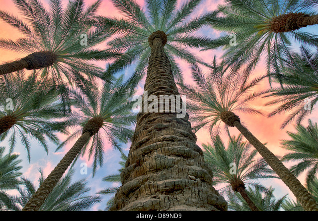 Looking up into California Fan Palm trees with sunrise clouds. Palm Desert, California - Stock Image