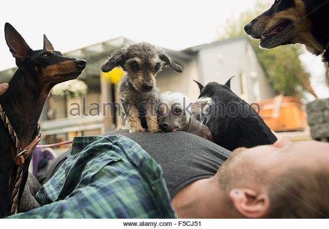 Dogs laying on top of man - Stock Image