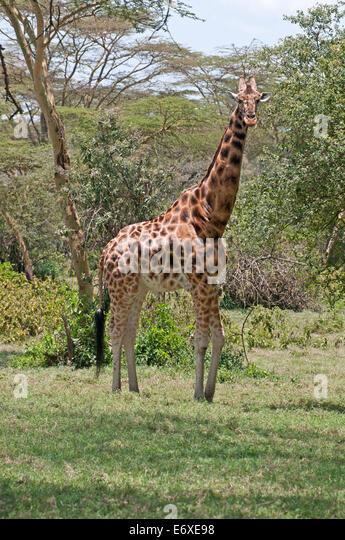 Rothschild's Giraffe in acacia woodland in Lake Nakuru National Park Kenya East Africa  ROTHSCHILD'S GIRAFFE ACACIA - Stock Image