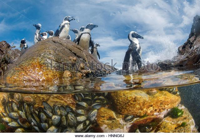 African penguins forage near their rookeries on Mercury Island. - Stock-Bilder
