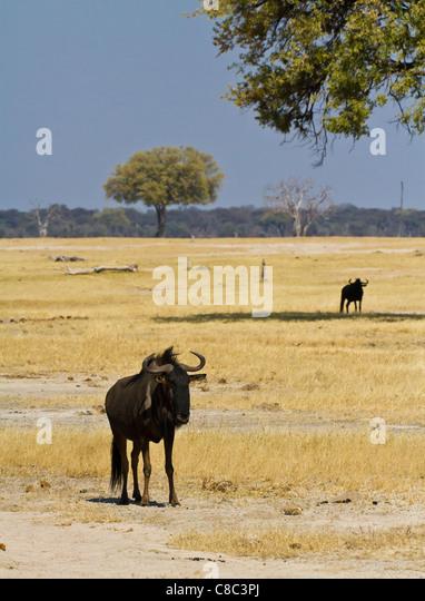 Wildebeest in Hwange National Park, Zimbabwe - Stock Image