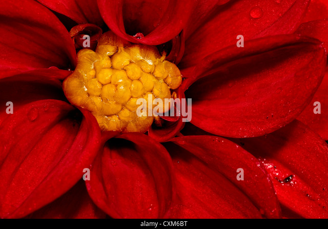 Close-up of a Red Dahlia - Stock Image