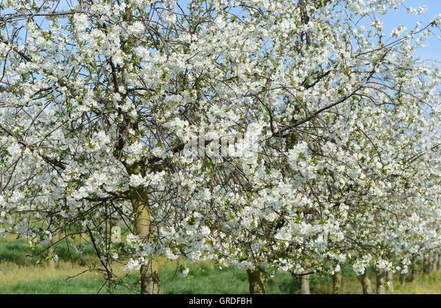 Morello cherries fruit sour stock photos morello cherries fruit sour stock images alamy - Romanian cherry tree varieties ...