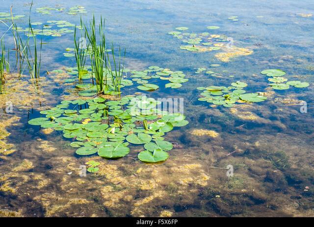 Brown algae floating stock photos brown algae floating for Green pond water