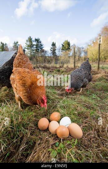 Mature rhode island red hen