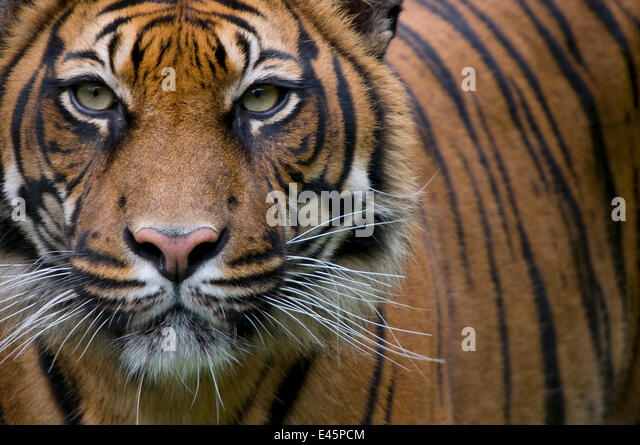 Head portrait of Sumatran tiger (Panthera tigris sumatrae) captive - Stock Image