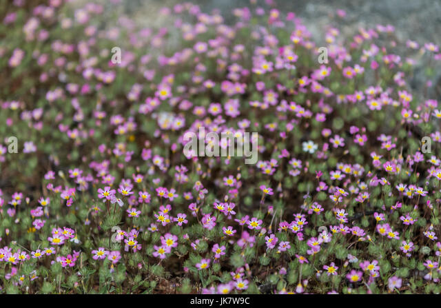 Pink Flowers Grow in Moss with light fog  throughout image - Stock Image