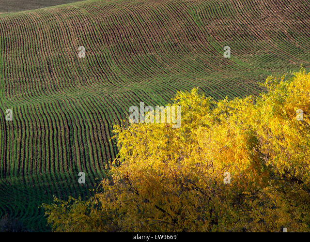 Fall colored willow tree. Near the Columbia River Gorge, Oregon - Stock Image