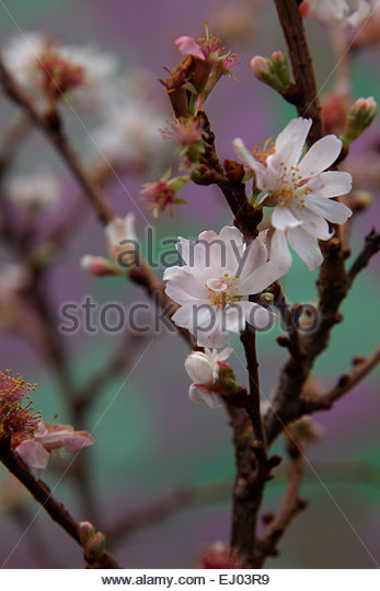 prunus subhirtella autumnalis stock photos prunus subhirtella autumnalis stock images alamy. Black Bedroom Furniture Sets. Home Design Ideas
