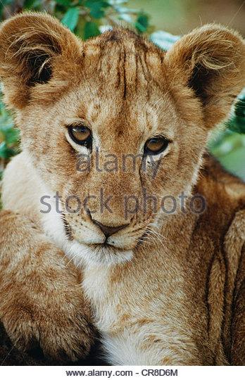 African lion cub, Kenya - Stock Image