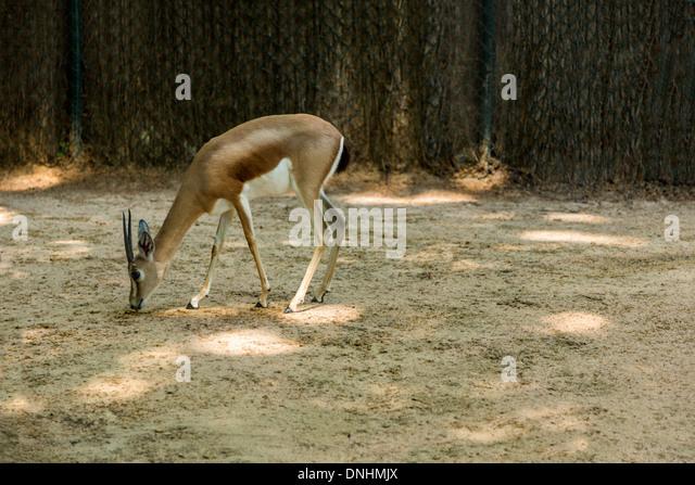 Gazelle in a zoo, Barcelona Zoo, Barcelona, Catalonia, Spain - Stock-Bilder
