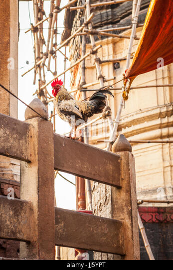 A rooster on a fence in the streets of Varanasi, India in the province of Uttar Pradesh. near Manikarnika Ghat. - Stock Image