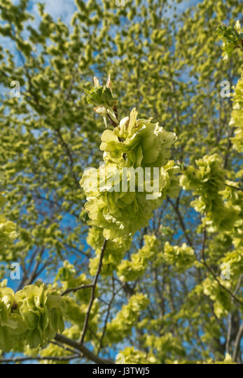 Elm tree branches and twigs in spring with loads of fresh edible elm seeds - Stock Image