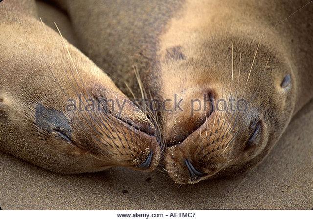 Ecuador Galapagos Islands Floreana Island sleeping Galapagos Sea Lion beach - Stock Image