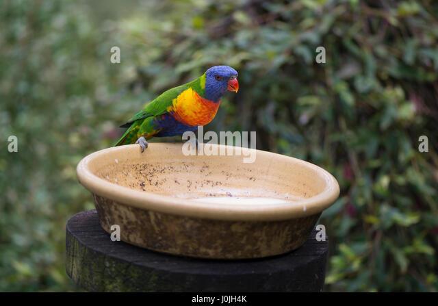 One wild rainbow lorikeets (Trichoglossus moluccanus) at a feeder, a native Australian parrot, taken in South Australia. - Stock-Bilder