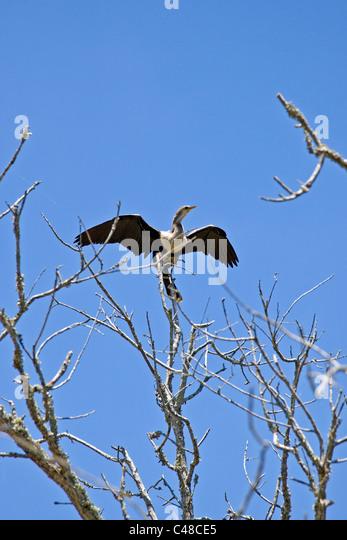Cormorant bird, Magnolia Plantation & Gardens, near Charleston, South Carolina, USA - Stock-Bilder