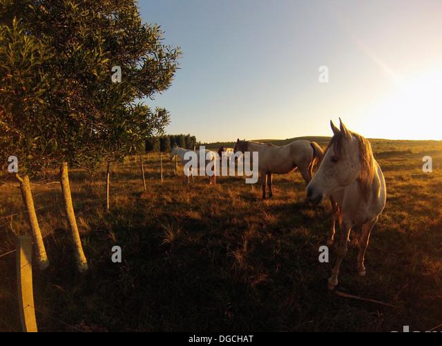 Criollo horses in sunlit field, Uruguay - Stock Image