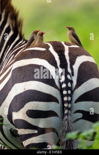 Red-billed oxpeckers (Buphagus erythrorhynchus) on burchells zebra's (Equus burchelli) back Lake Nakuru National - Stock Image