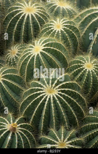 Ferocactus magnifica with spines on ridges, S Brazil and Uruguay - Stock Image