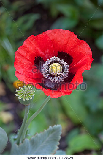 papaver somniferum opium - photo #44