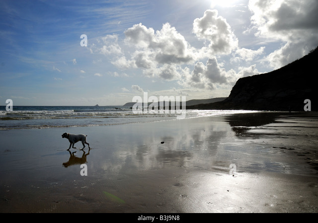 Dog on sandy beach in Cornwall - Stock Image