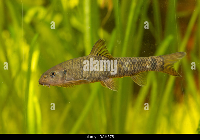Doctor fish stock photos doctor fish stock images alamy for Garra rufa fish