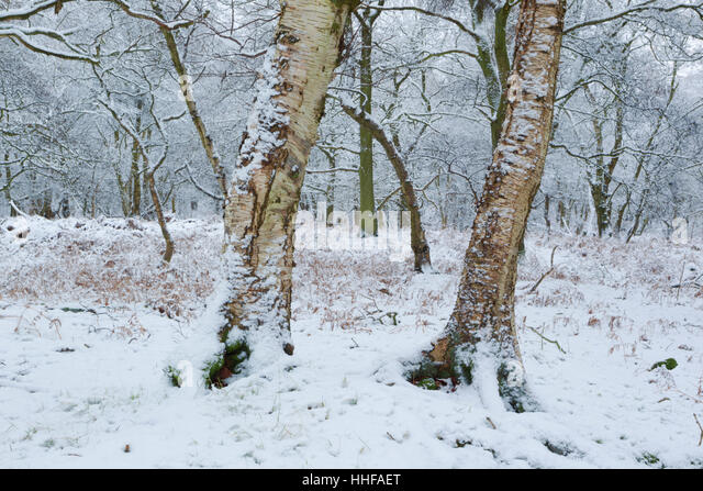 Downy Birch trees, Latin name Betula pubescens, with a light covering of snow in the North York Moors national park - Stock Image