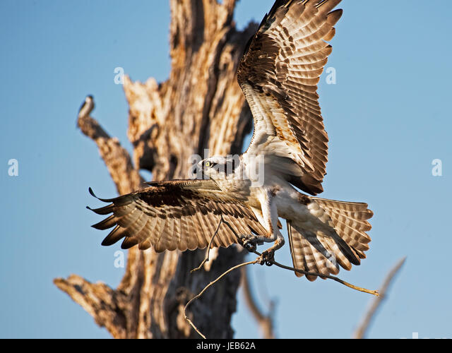 Osprey in Flight with Sticks - Stock Image