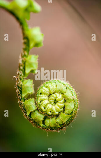 Fiddlehead Fern - Pisgah National Forest, Brevard, North Carolina, USA - Stock Image