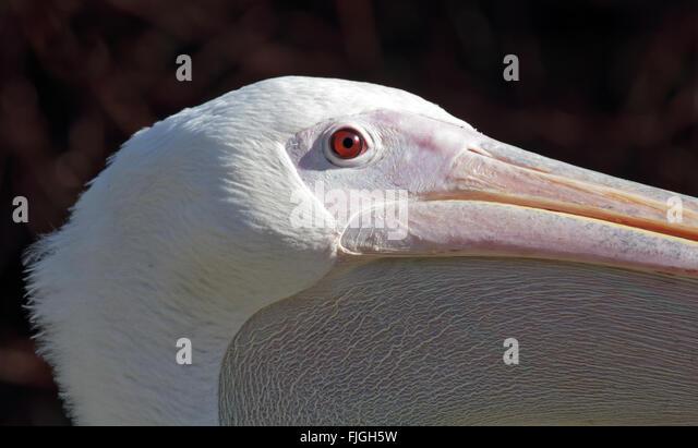 African White Pelican (pelecanus onocrotalus) - Stock Image