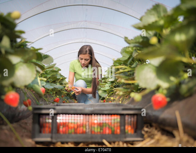 Worker filling tray of punnets with strawberries on fruit farm - Stock Image